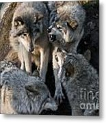 Timber Wolf Pictures 1096 Metal Print