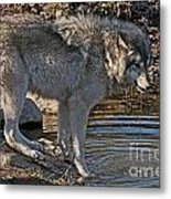 Timber Wolf Pictures 1101 Metal Print