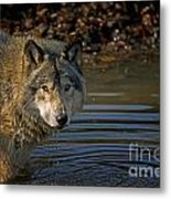 Timber Wolf Pictures 1103 Metal Print