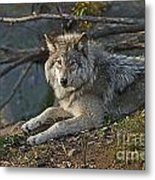 Timber Wolf Pictures 1148 Metal Print