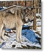 Timber Wolf Pictures 1175 Metal Print