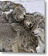 Timber Wolf Pictures 120 Metal Print