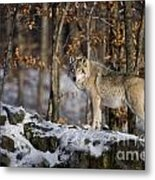 Timber Wolf Pictures 1206 Metal Print
