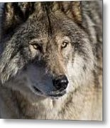 Timber Wolf Pictures 1218 Metal Print