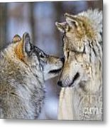 Timber Wolf Pictures 1230 Metal Print