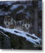 Timber Wolf Pictures 1233 Metal Print