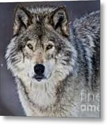 Timber Wolf Pictures 1271 Metal Print