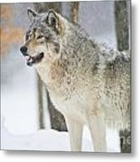Timber Wolf Pictures 1302 Metal Print