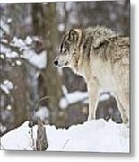 Timber Wolf Pictures 1306 Metal Print