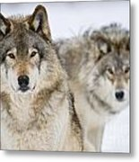 Timber Wolf Pictures 1312 Metal Print