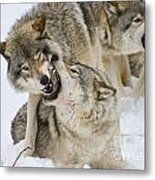 Timber Wolf Pictures 1314 Metal Print