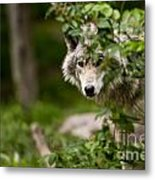 Timber Wolf Pictures 1328 Metal Print