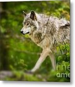 Timber Wolf Pictures 1329 Metal Print