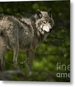 Timber Wolf Pictures 1336 Metal Print