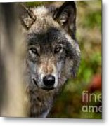 Timber Wolf Pictures 1365 Metal Print