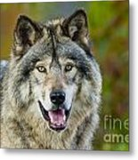 Timber Wolf Pictures 1388 Metal Print