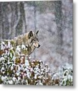 Timber Wolf Pictures 1395 Metal Print