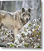 Timber Wolf Pictures 1397 Metal Print