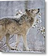 Timber Wolf Pictures 1401 Metal Print