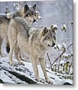 Timber Wolf Pictures 1417 Metal Print