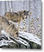 Timber Wolf Pictures 1420 Metal Print