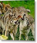 Timber Wolf Pictures 1593 Metal Print