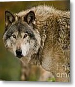 Timber Wolf Pictures 1629 Metal Print