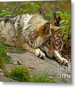 Timber Wolf Pictures 1646 Metal Print