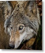 Timber Wolf Pictures 1660 Metal Print