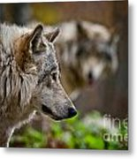 Timber Wolf Pictures 1693 Metal Print