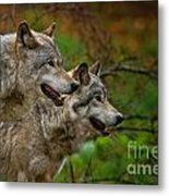 Timber Wolf Pictures 1710 Metal Print