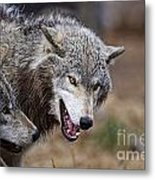 Timber Wolf Pictures 173 Metal Print