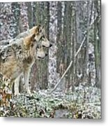 Timber Wolf Pictures 184 Metal Print