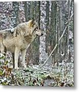 Timber Wolf Pictures 185 Metal Print