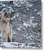Timber Wolf Pictures 189 Metal Print