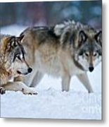 Timber Wolf Pictures 190 Metal Print