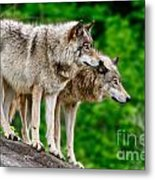 Timber Wolf Pictures 191 Metal Print