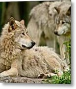 Timber Wolf Pictures 192 Metal Print