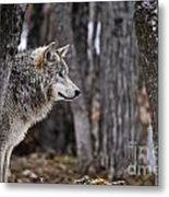 Timber Wolf Pictures 203 Metal Print