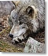 Timber Wolf Pictures 205 Metal Print