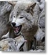 Timber Wolf Pictures 210 Metal Print