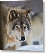 Timber Wolf Pictures 259 Metal Print