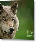 Timber Wolf Pictures 261 Metal Print