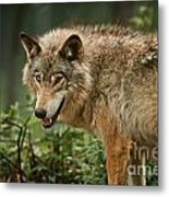 Timber Wolf Pictures 262 Metal Print