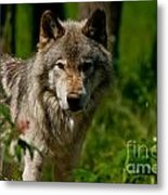 Timber Wolf Pictures 266 Metal Print