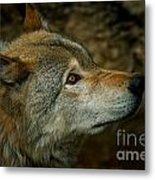 Timber Wolf Pictures 268 Metal Print