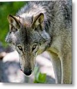 Timber Wolf Pictures 294 Metal Print
