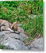 Timber Wolf Pictures 329 Metal Print