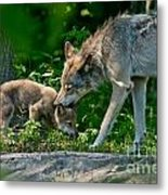 Timber Wolf Pictures 332 Metal Print