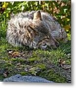 Timber Wolf Pictures 42 Metal Print